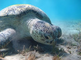 From El Quseir swimming with the turtles in Abu Dabbab Bay