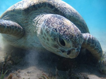Swimming with the turtles in Abu Dabbab Bay