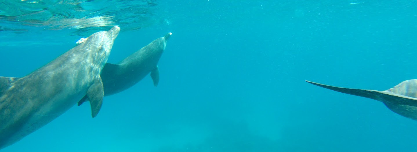 schwimmen und schnorchen mit den delfinen in makadi bay
