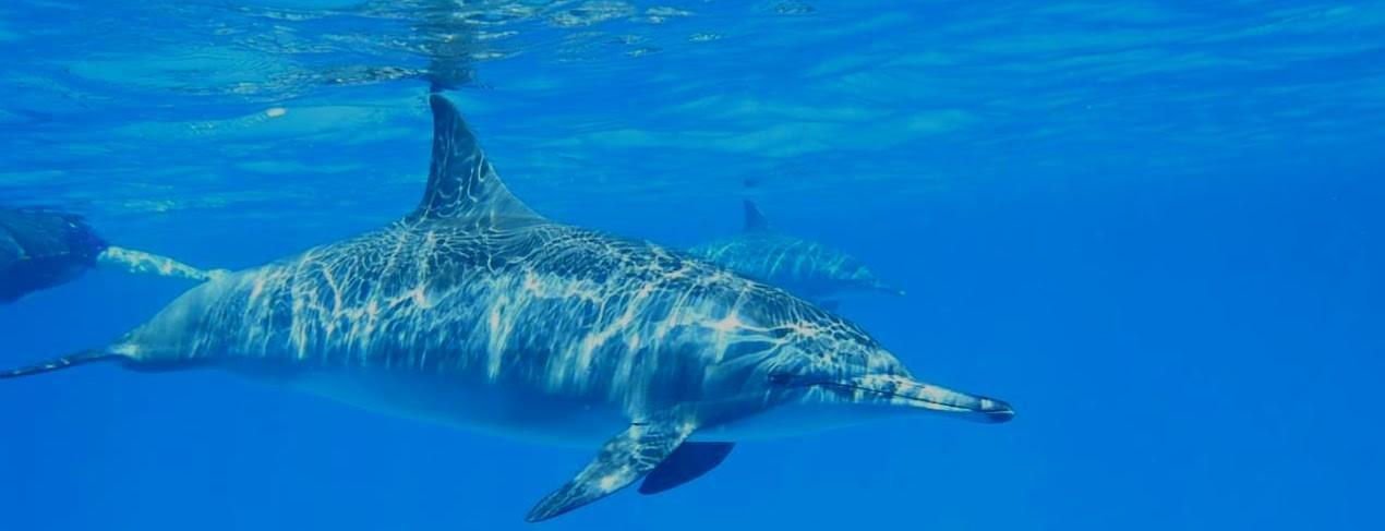 Rotes Meer, delfine, Ausflug von Sahl Hasheesh & Makadi Bay