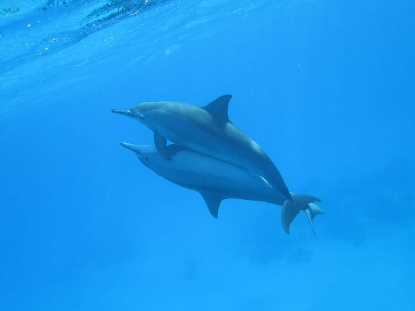 Schwimmen mit den Delfinen: Sataya Insel Tour ab Marsa Alam