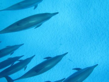 Schnorcheltour zum Dolphin House am Samadai Riff mit dem Speedboot